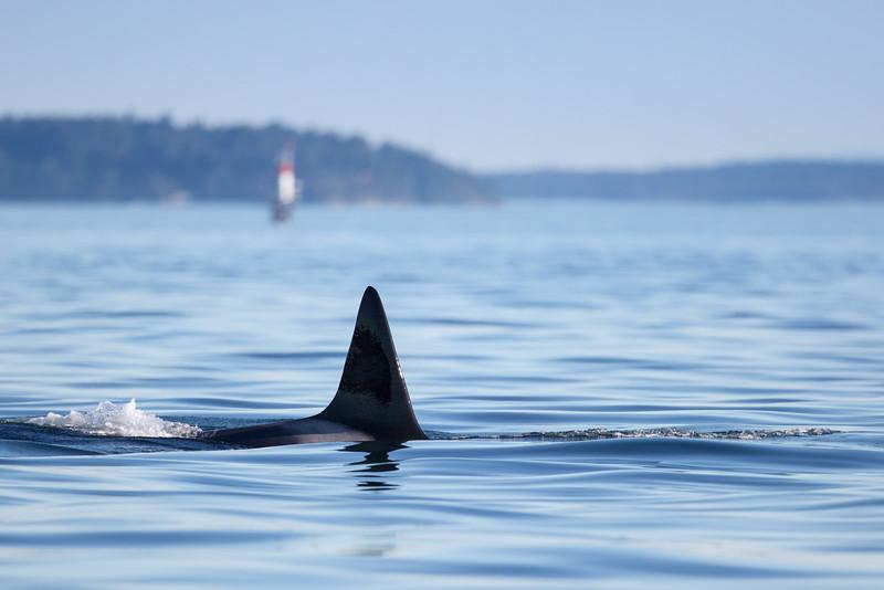 Orcas -  073115-469.jpg