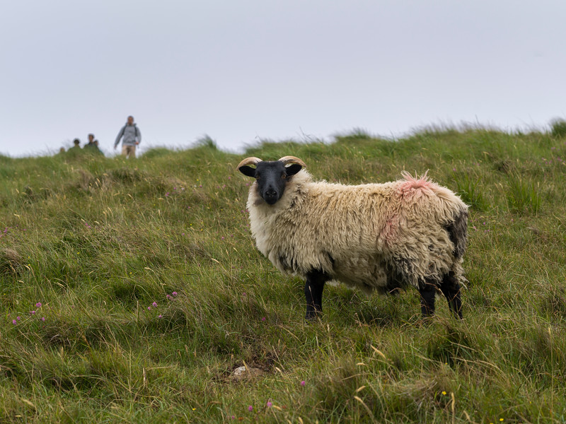 Sheep in a hillside, Achill Head Hike, Achill Island, County Mayo, Ireland