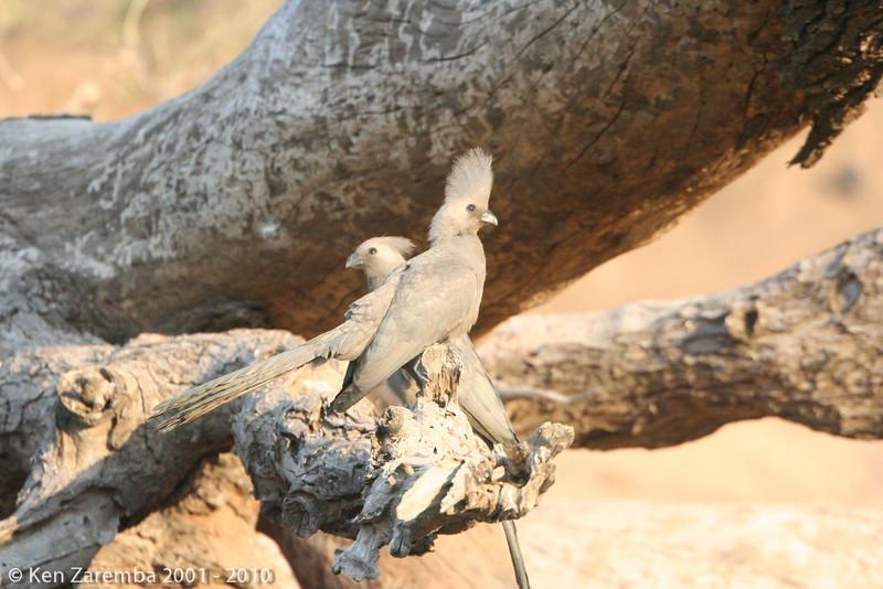 grey lourie ( go away bird)