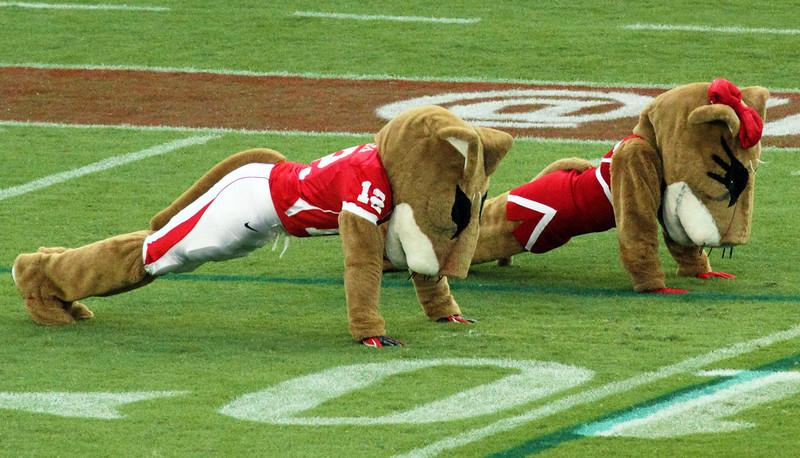 Uh mascots Shasta and Sasha doing victory pushups