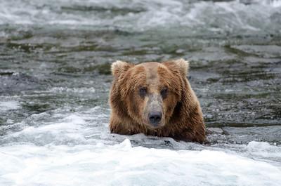 Alaskan brown bear in the rapids