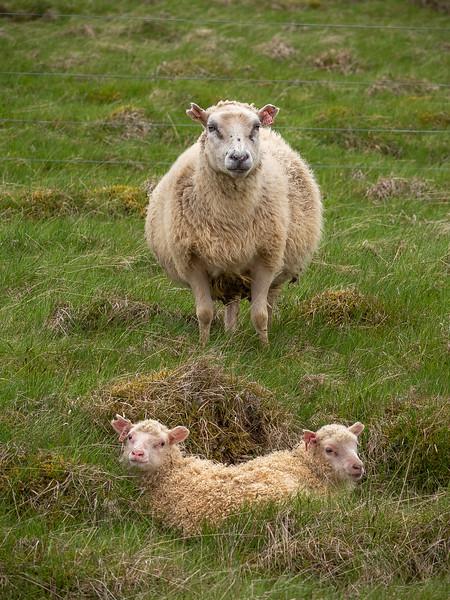 Newborns Lambs    Photography by Wayne Heim