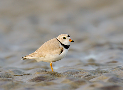 Adult Piping Plovers
