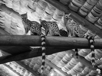 Family of Genets
