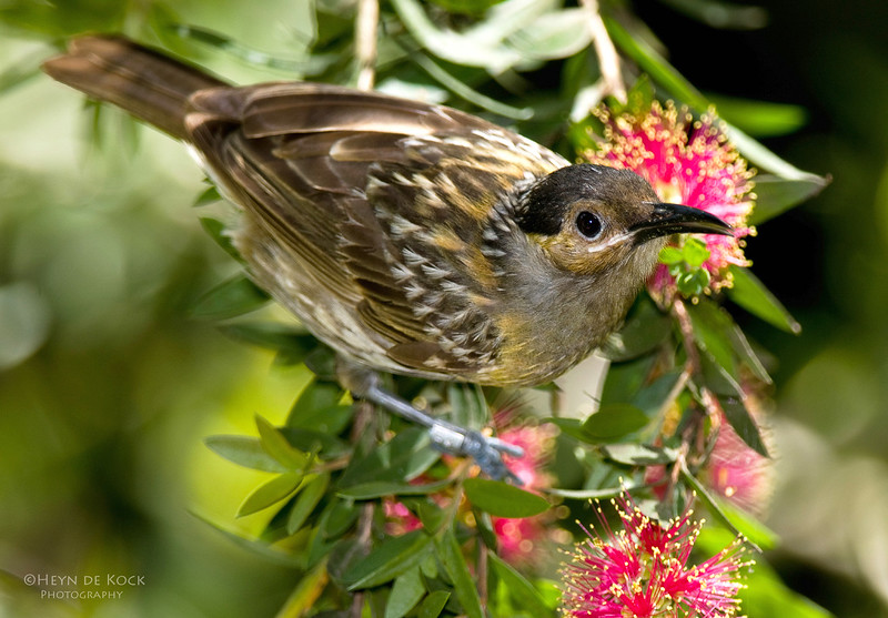 Macleay's Honeyeater, Kingfisher Park, Qld, Aus, Dec 2012.jpg