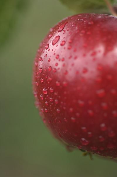 Spartan Apples in Tree