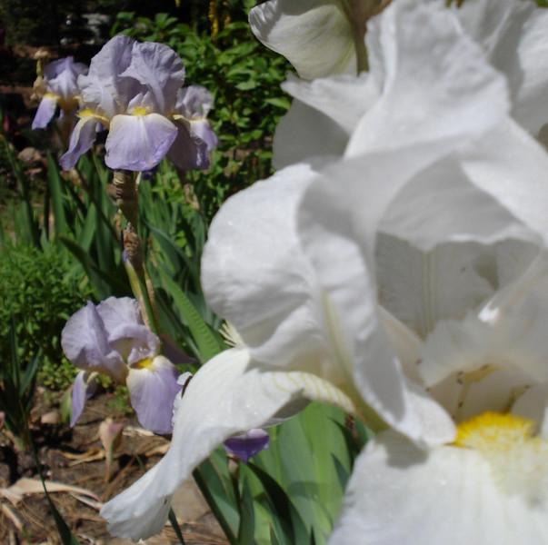 Iris 06_14_2007