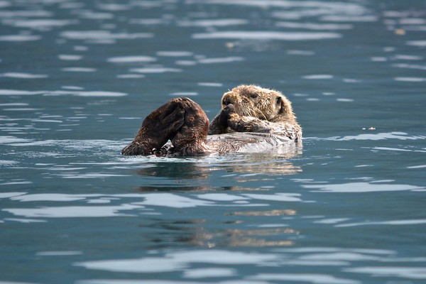 Sea Otters at Inian Islands
