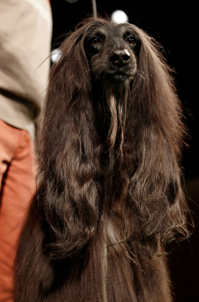 Description of . Chile, an Afghan hound, is shown during a press conference to announce the 137th Annual Westminster Kennel Club dog show Thursday, Feb. 7, 2013, in New York. (AP Photo/Frank Franklin II)