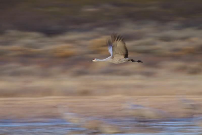 Sandhill Crane Bosque del Apache NWR Socorro NM IMG_9466.dng.jpg