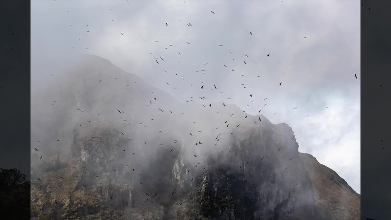 A small taste of what it was like to watch a movement of thousands of Swainson's Hawks on our fall 2018 Colombia: Cali Escape tour with guide Jesse Fagan. Video clip by Jesse with an image by participant Chris S. Wood.