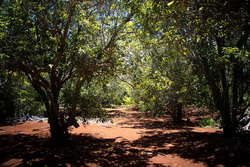 Macadamia Nut Trees.jpg