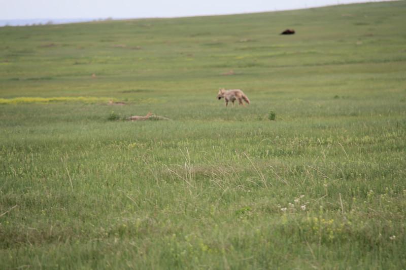 20140523-175-BadlandsNP-PrairieDogsCoyote.JPG