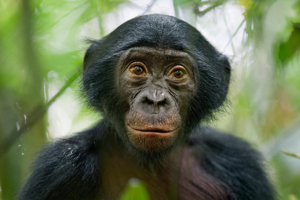 . This picture by German photographer Christian Ziegler, National Geographic magazine won 3rd Prize in Nature Stories category of the 57th World Press Photo Contest, it was announced by the organizers in Amsterdam, The Netherlands, 14 February 2014. It shows a five-year-old bonobo turns out to be the most curious individual of a wild group of bonobos near the Kokolopori Bonobo Reserve, in the Democratic Republic of Congo.  EPA/CHRISTIAN ZIEGLER / NATIONAL GEOGRAPHIC MAGAZINE