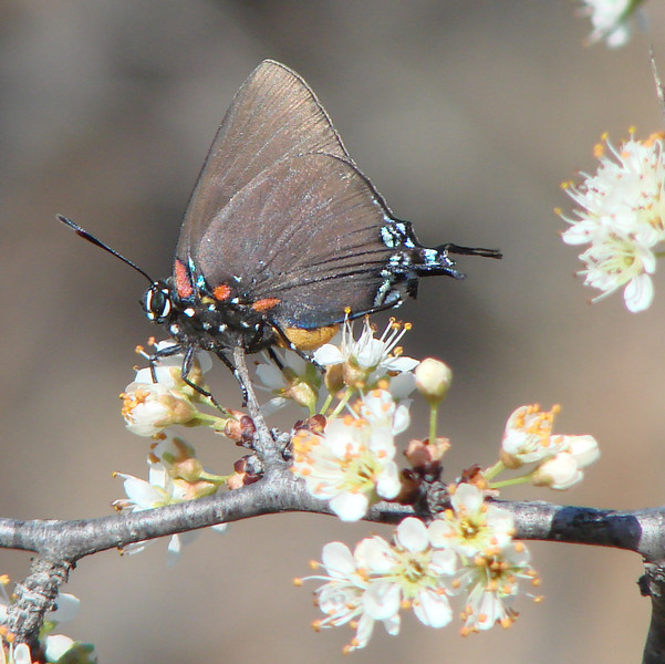 Great Purple Hairstreak (Atlides halesus) female.  TX: Wise Co. (LBJ Grasslands), 10 March 2007.
