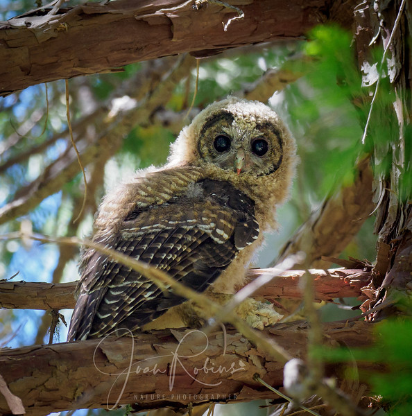 200712-Spotted Owls Butte County-7129820.jpg