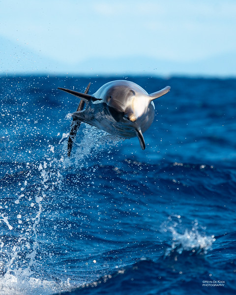 Common Bottlenose Dolphin, Southport, QLD, Sep 2018-1.jpg