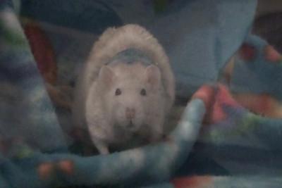 Bandaging Rats