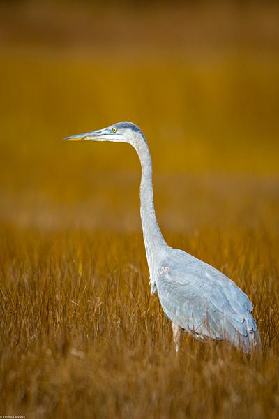 Heron in the Grass.jpg