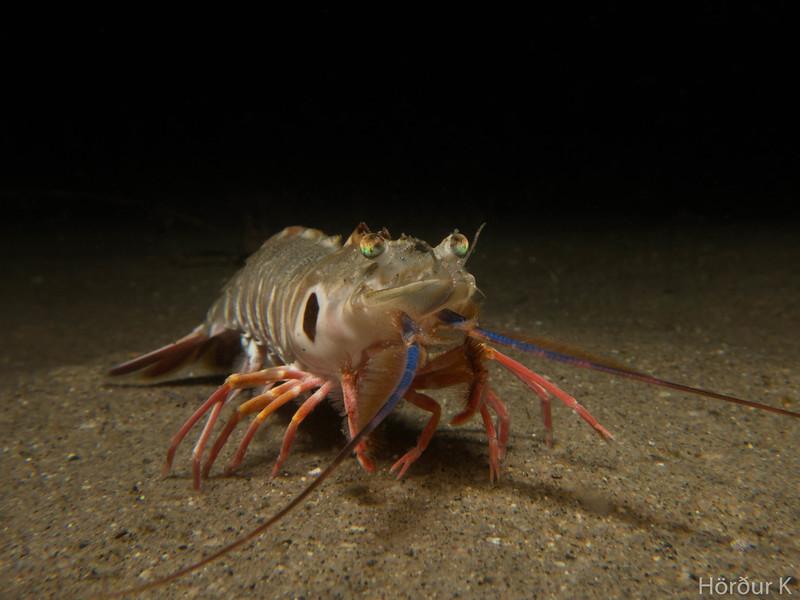 Target shrimp