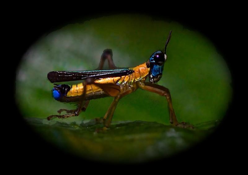 Airplane Grasshoppers (Eumastax vittata)