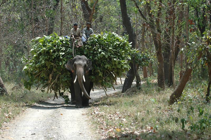 Rajaji National Park: Elephant