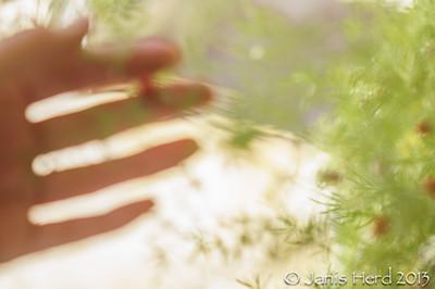 Asparagus fern, soft focus