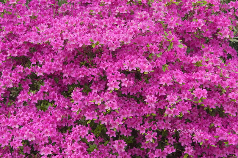 FloweringShrubs_Azalea-Pink_0444.jpg