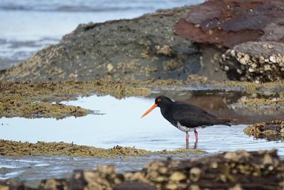 15-12  Birds on St Heliers beach