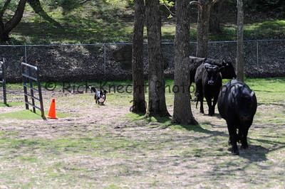 Saturday Cattle