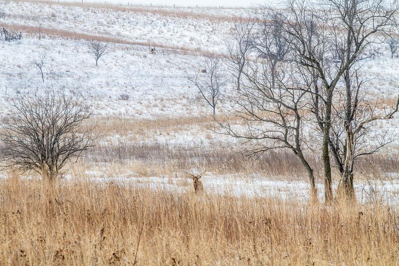 Elk bull Neal Smith National Wildlife Refuge NWR Prairie City IA  IMG_1937.jpg