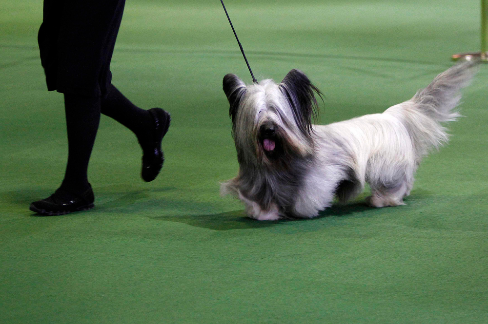 Description of . A Skye Terrier is judged during the 137th Westminster Kennel Club Dog Show in New York, February 12, 2013. More than 2,700 prized dogs will be on display at the annual canine competition. Two new breeds, the Russell terrier and the Treeing Walker coonhound, will be introduced in the contest.  REUTERS/Carlo Allegri