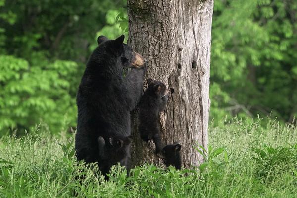 Smokies Black Bear 2019
