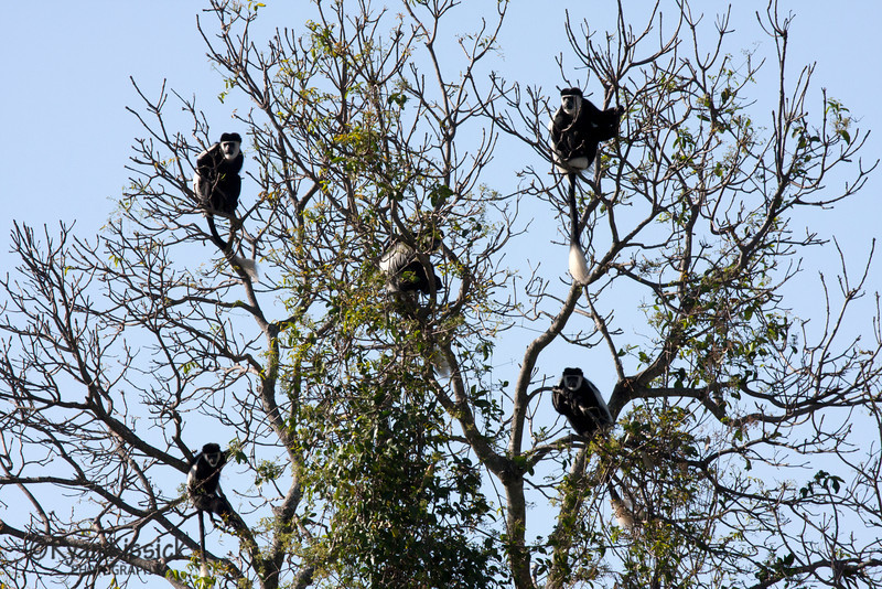 Colobus monkeys resting in a tree