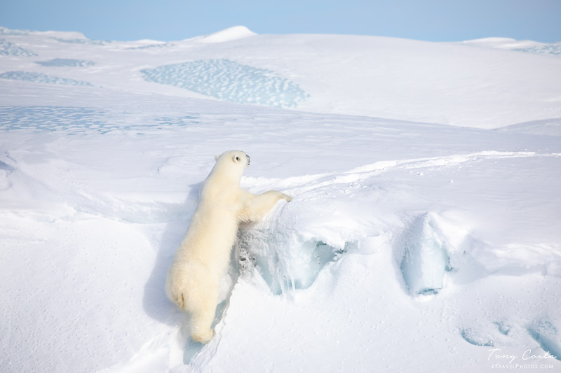 Polar Bear Climbing onto an Iceberg