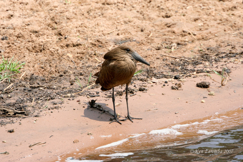 Hamerkop, Chobe National Park, Botswana