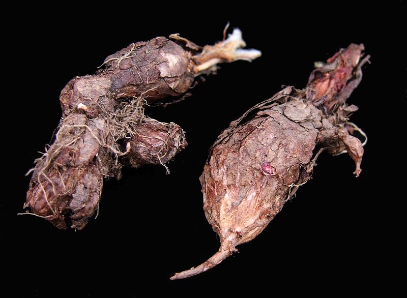 Pelargonium asarifolium tubers