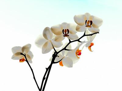 Art Show Orchids