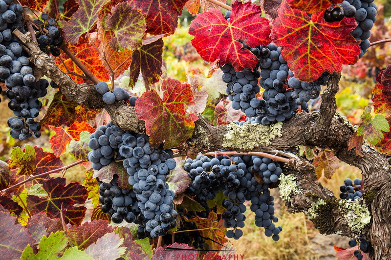 Napa Valley Harvest #23