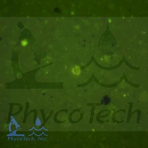 Traechophyta
