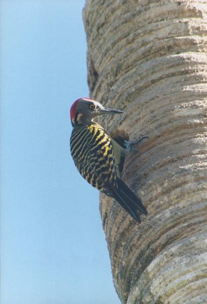 Woodpecker Dominican Republic