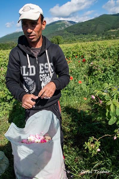 קוטף ורדים 2.jpg