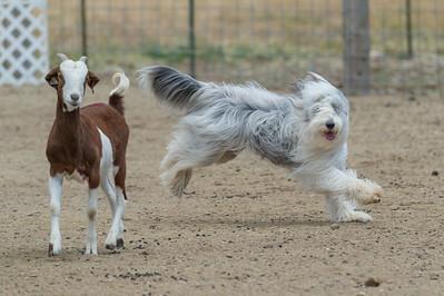 HT - Goats