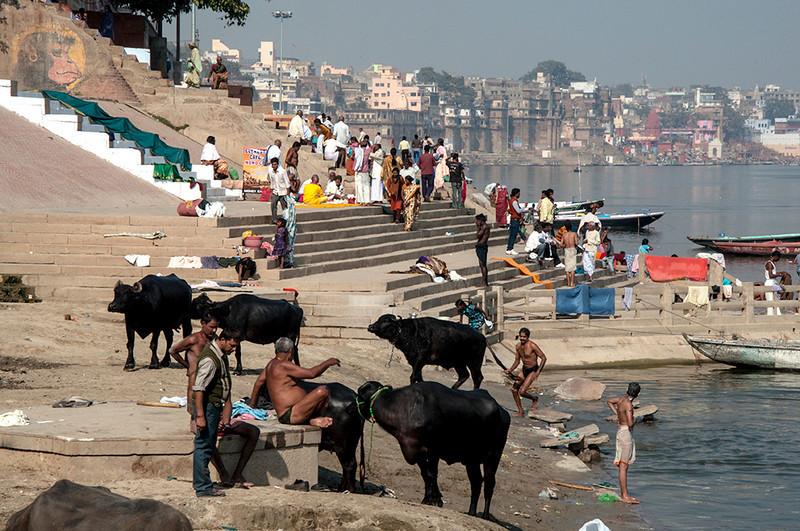 Varanasi-WaterBuffalos.jpg