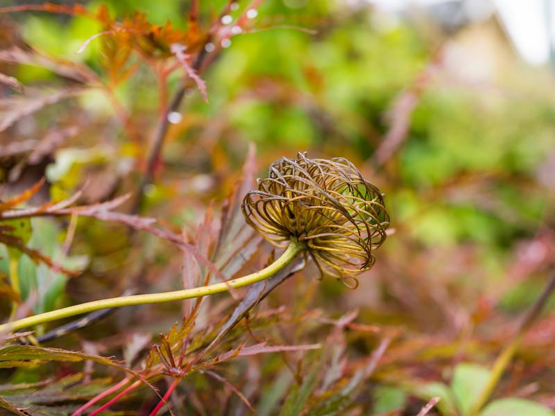 Dried seed head of Clematis 'John Warren'.