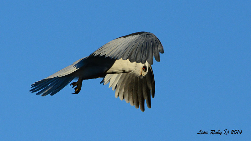 White-Tailed Kite - 3/9/14 - From Lake Hodges Pedestrian Bridge