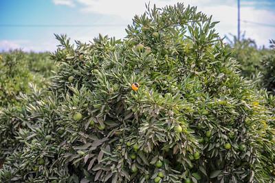 Mandarins 2 Weeks till harvest