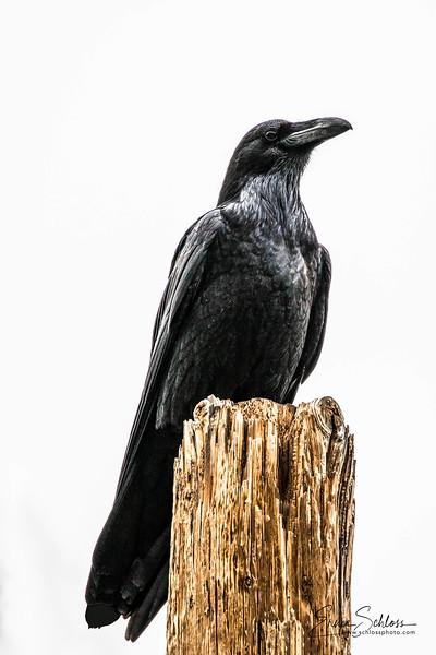 Raven 2-16-2018a-.jpg