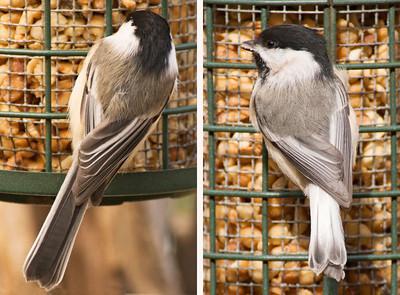 March 28, 2010 - Leucistic Chickadees
