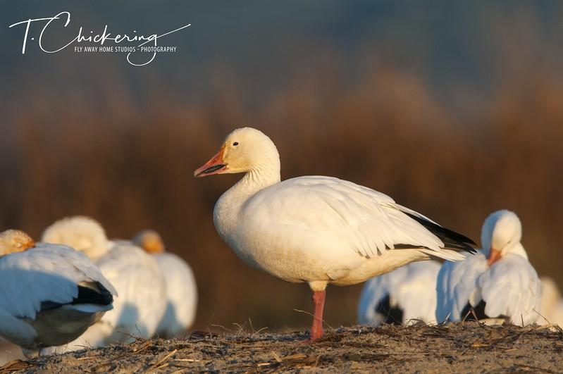 Snow Geese on the Beach-1506030367321.jpg